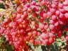 Кустарник с белыми ягодами