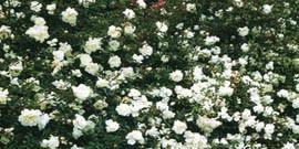 Почвопокровные розы в ландшафтном дизайне – как их успешно применять для украшения сада?