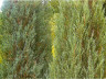 Ялівець в ландшафтному дизайні фото