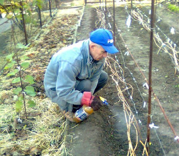 Картинки: Обработка винограда железным купоросом, опрыскивание винограда (Картинки) в Пучеже