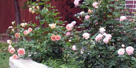 Оформление клумбы с розами – оригинальный цветник своими руками