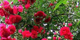 Вьющиеся цветы в саду или как украсить свой сад оригинальными растениями?
