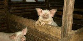 Как построить сарай для свиней своими руками – основные рекомендации!