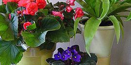 Выращивание комнатных цветов – правильная посадка и уход за растениями