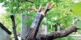Прививка винограда – старый корень и новый куст!
