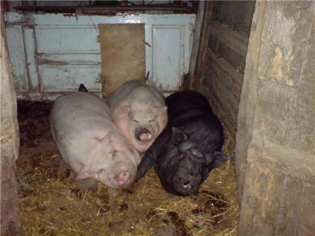 Загоны для свиней своими руками 113