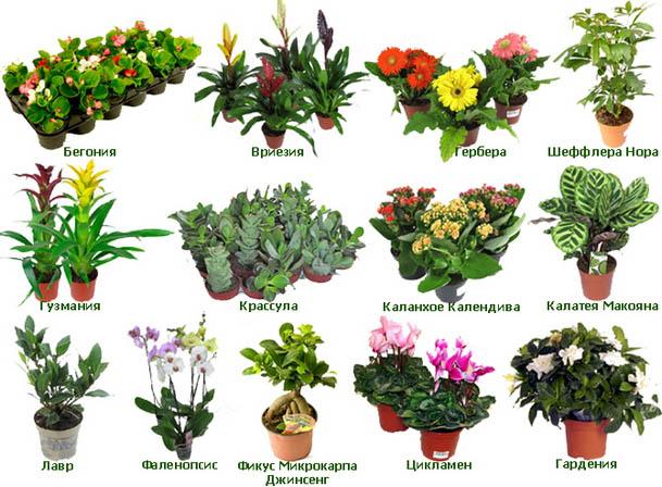 Цветы комнатные с названями