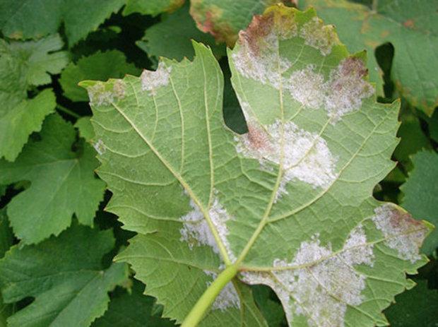 Септориоз винограда