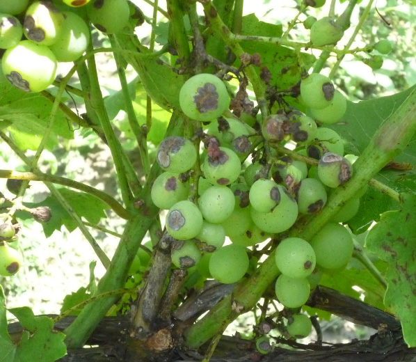 Ягодя винограда с антракнозом