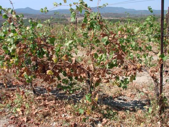 Усыхание побегов винограда