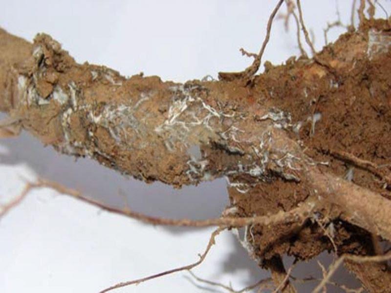 Армилляриоз, корневая гниль винограда