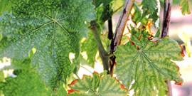 Изучаем болезни винограда и способы борьбы с ними