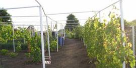 Шпалера для винограда – искусство направлять