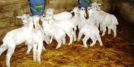 Как построить сарай для коз своими руками – для комфорта козочек!