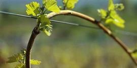Виды шпалер для винограда видео