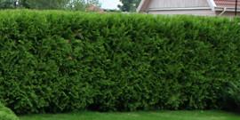 Живая изгородь из туи или как оформить вечнозеленый сад?