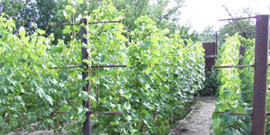 Укрытие винограда на зиму – какой материал лучше всего сохранит кустарники?