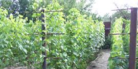 Укрытие саженцев винограда на зиму