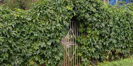 Вечнозеленые растения для живой изгороди