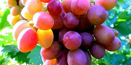 Вредители винограда – как сохранить полноценный и вкусный урожай?