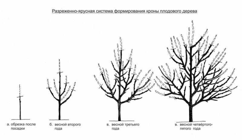 Схема обрезки абрикоса 36
