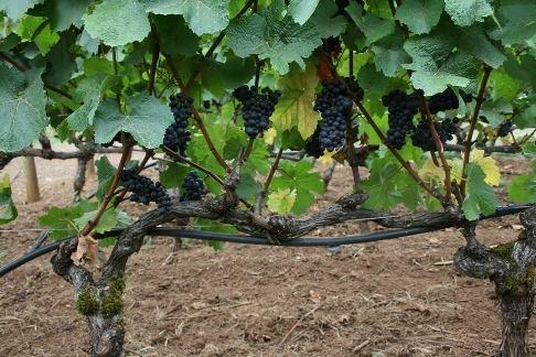 Как правильно делать обрезку винограда