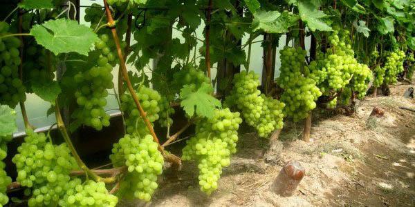 Самый дорогой сорт винограда в грузии (усахелаури)