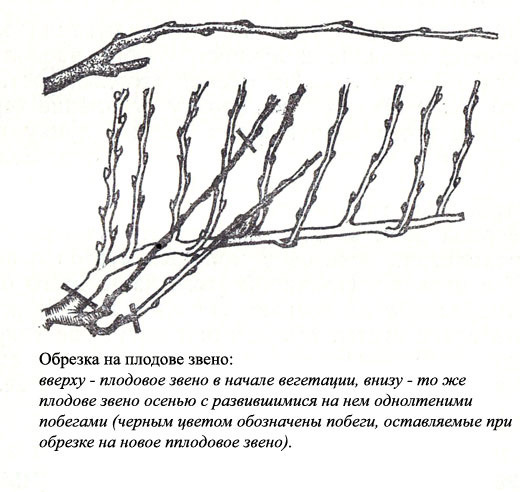 пошаговая инструкция обрезки винограда