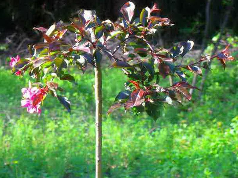 Обрезанная карликовая яблоня цветет
