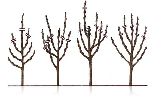 Схема укорачивания саженца яблони