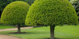 Деревья для ландшафтного дизайна – дуб, клен и береза