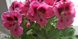 Комнатные цветы: герань – уход и выращивание в домашних условиях