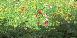 Цветущий газон – как создать оригинальную лужайку?