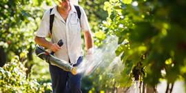 Обработка винограда осенью от болезней с помощью купороса