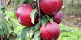 Правильная обрезка яблонь – как наслаждаться спелыми яблоками круглый год?