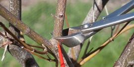 Обрезка молодых деревьев или как вырастить здоровый сад?