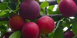 Обрезка сливы весной или как увеличить урожайность?