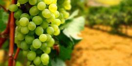 Виноградник своими руками или как получить богатый урожай?