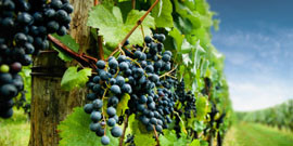Прививки винограда весной