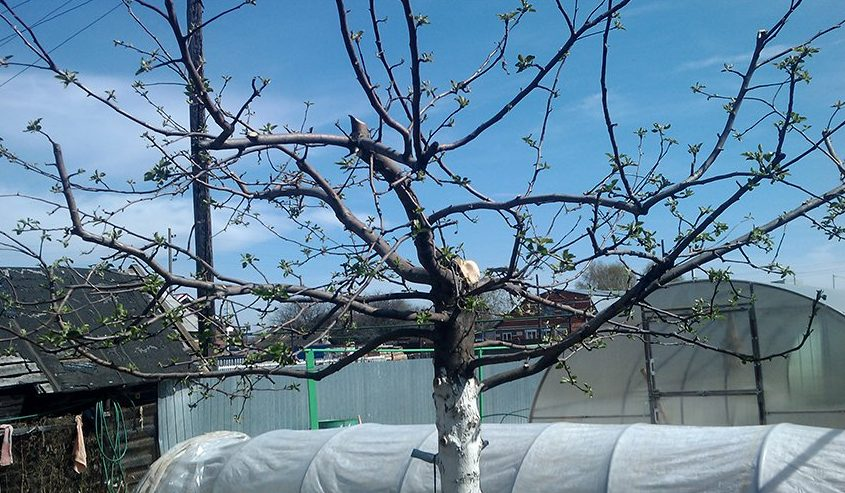 Обрезанная яблоня весной