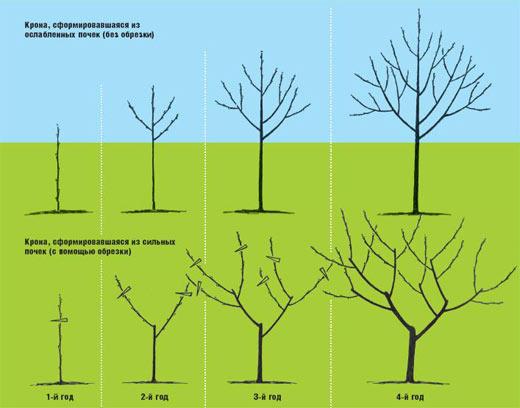 Как сделать обрезку садовых деревьев