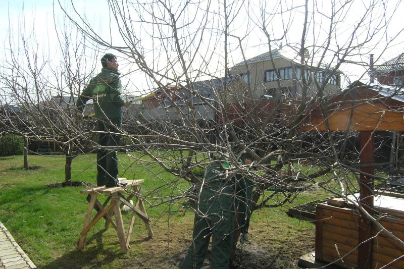 Проведение обрезки яблони весной
