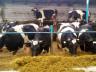 Сарай для коров – как сделать его сухим, теплым и долговечным? видео