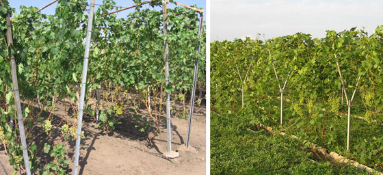 Шпалеры для винограда своими