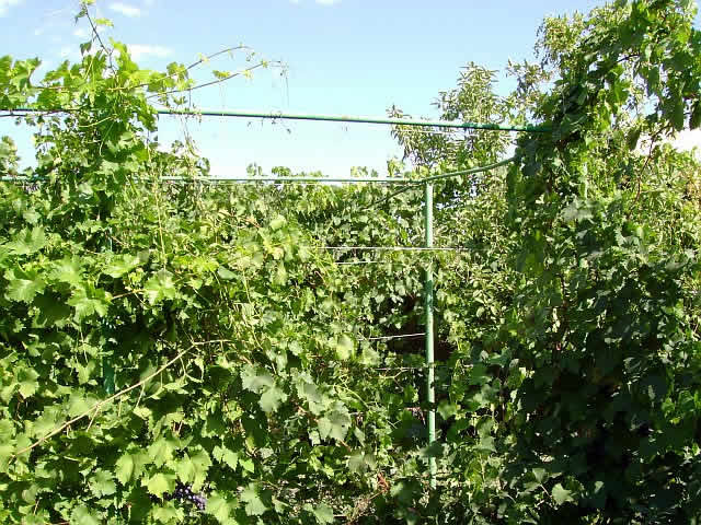 Устройство шпалеры для винограда