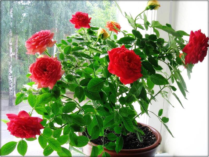 Если роза не цветет в домашних условиях 499