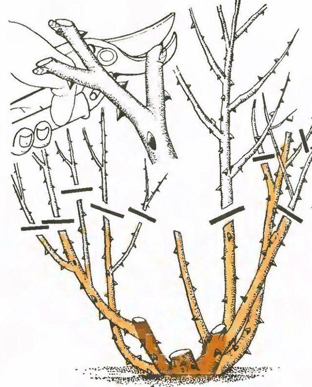 Схема обрезки чайно-гибридных роз