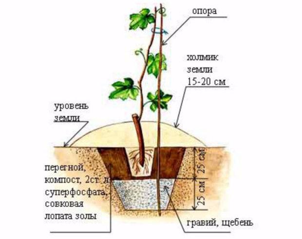 Схема подкормки винограда при посадке