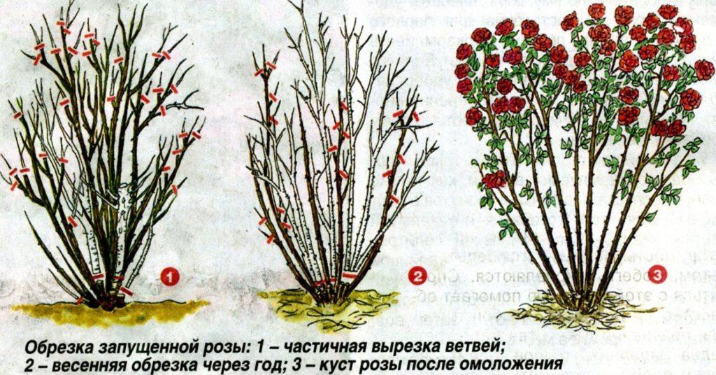 Обрезка роз – стадии и результат