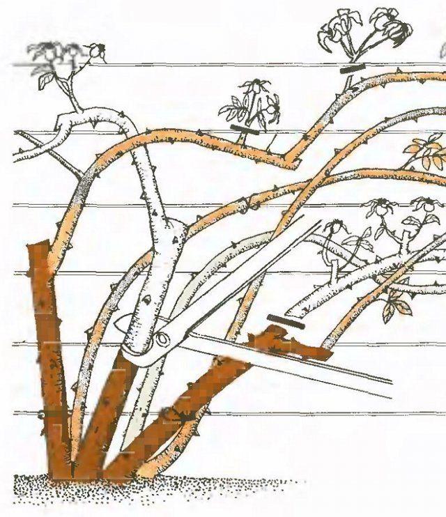 Схема обрезки плетистых роз